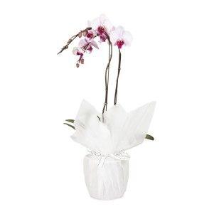 2 Spike Phalaenopsis Orchid Plant