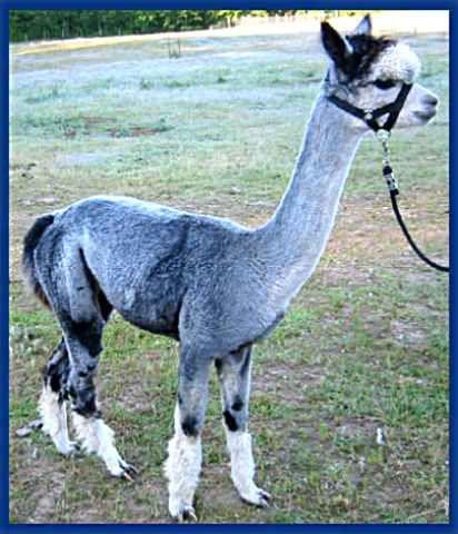 Best Alpaca Images On Pinterest Alpacas Llama Alpaca And - 22 hilarious alpaca hairstyles