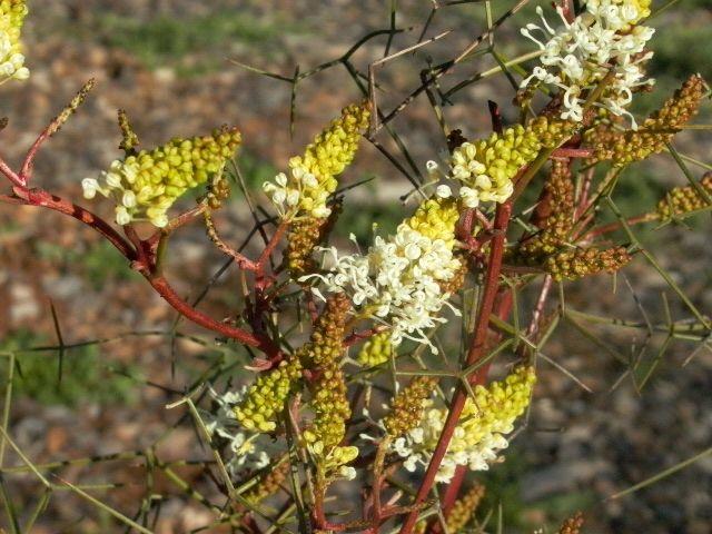 Australis Plants : Grafted Grevilleas