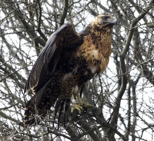 Liberación de águila mora