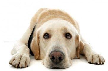 Цистит у собак: симптомы и лечение