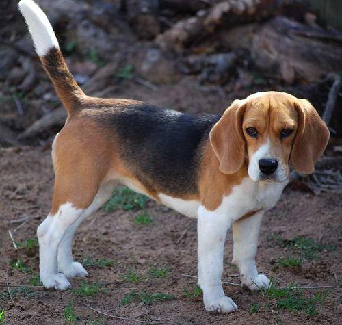 Good Beagle Chubby Adorable Dog - 1e9d5af60da51cc43fabb9b6c3006120--pocket-beagle-pockets  Picture_718589  .jpg
