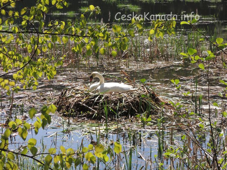 Nádherné labutí hnízdo | Česká Kanada