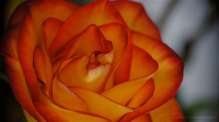 The Rose - Close