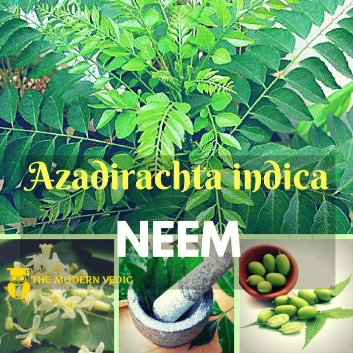In the world of Ayurveda, neem is a popular medicinal herb that's been part of traditional remedies that date back almost 5000 years  #themodernvedic #neem #neemba #azadirachta_indica #arista #leaves #seeds #roots #bark #anti_fungal #anti_bacterial #anti_inflammatory #gedunin #nimbidol #athlete_foot #ringworm #nail_fungus #tracheobionta #spermatophyta #magnoliopsida #rosidae #sapindales #meliaceae #azadirachta #azadirachta_indica #india #nepal #pakistan #bangladesh #sri_lanka #maldives #iran