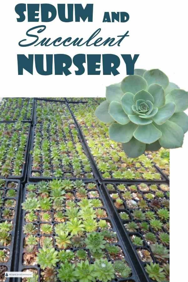 Sedum And Succulent Nursery Growing