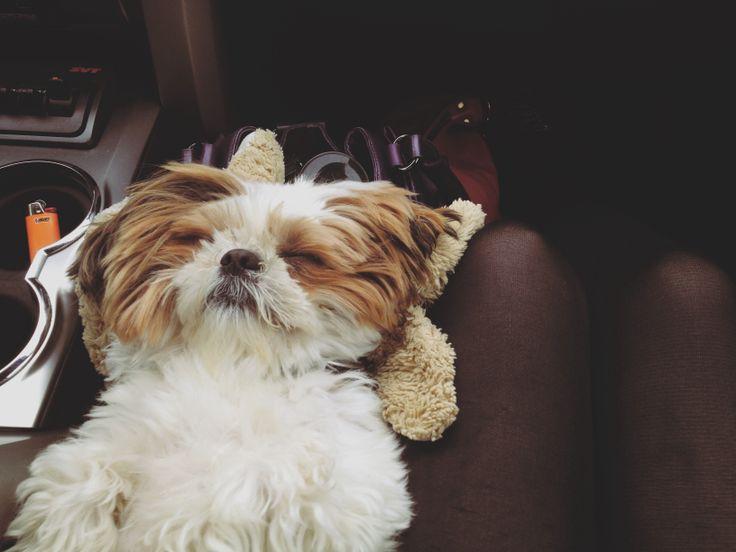 #funny My baby. #shihtzu #puppy
