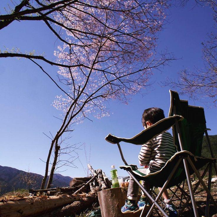 開拓中の山に自生している山桜が満開花見といいたいところですが樹高が高すぎて花はよく見えない #桜 #花見 #ピクニック