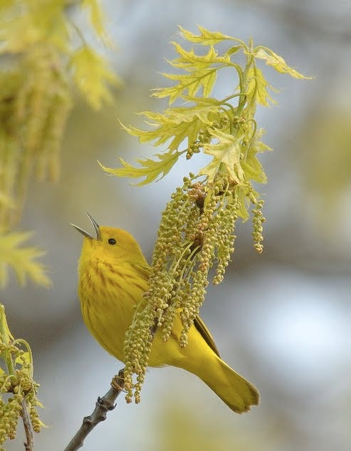 unidentified yellow bird with oak leaves & blossoms. -LW --- Yellow bird of happiness or Hope..that thing with feathers beautiful little bird. 14.10.2014