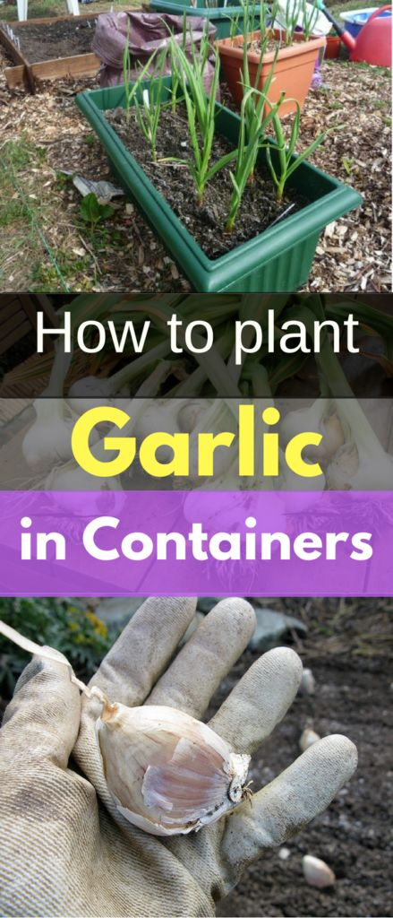 Garlic has to be the easiest thing to grow. You can plant it in pots, in the ground, in empty milk jugs. Really, any container will do.