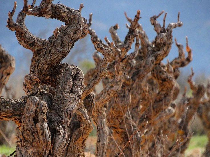 #Vinyavella de #Garnatxablamca a la @doterraalta els ceps caragolats per la poda de tans anys. Sabeu que amb la poda se li poden donar i treure anys de vida en un cep? Que la forma del cep es per la conducció en la poda? Que depenent de la força del terra deixarem mes o menys sarments en un cep? #winelovers #SexyWines