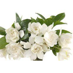 chameli flower - Google Search
