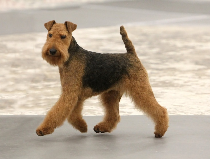 Welsh Terrier - i want him. i shall name him Winston :)