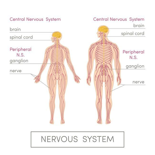 Central Nervous System Definition Function Parts Biology Dictionary Peripheral Nervous System Central Nervous System Nervous System