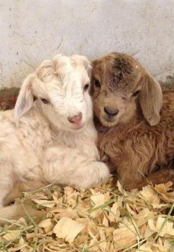 Bébé de chèvres