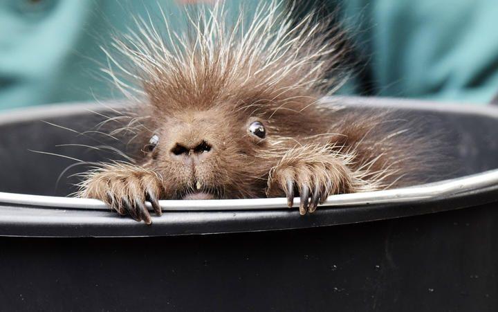 Cachorro depuercoespín enelzoológico deHamburgo