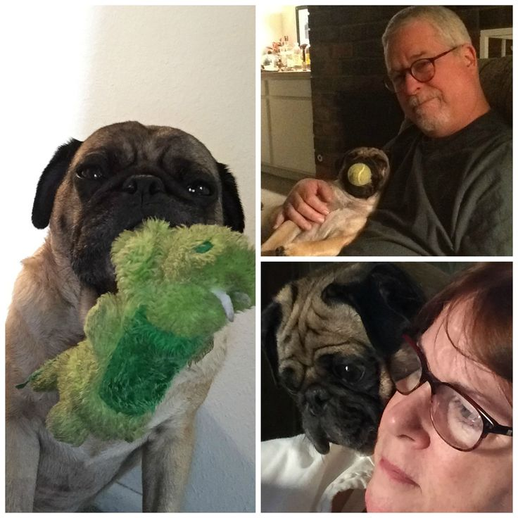 After Sam the hungry Pug ingested a handful of refrigerator magnets, his intestinal tract was in quite a pinch. Thanks to an emergency surgery at Dr. Domotor's Animal House Veterinary Hospital and some TLC , Sam now has an appetite for this year's 2015 Hambone Award. Read more about this playful pug's road to recovery and cast your vote today!