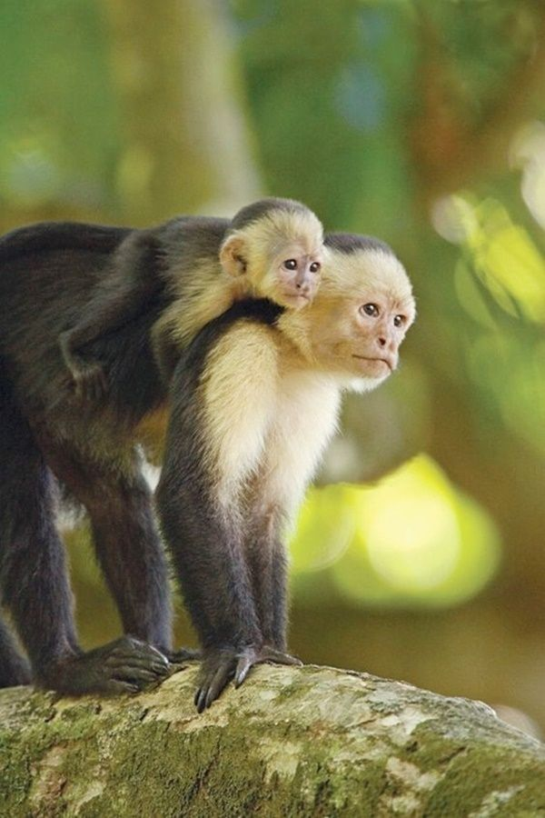 Small Monkey Breeds You Can Have As Pets Monkey Breeds Pet Monkey Cute Animals