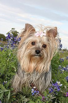 Pictures of Daisy a Yorkie, Yorkshire Terrier for adoption in Statewide and National, TX who needs a loving home.