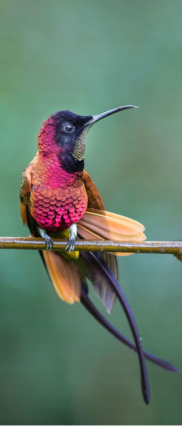 l´oiseau sur la branche ト le colibri hummingbird vogel pajaro uccello fall au…