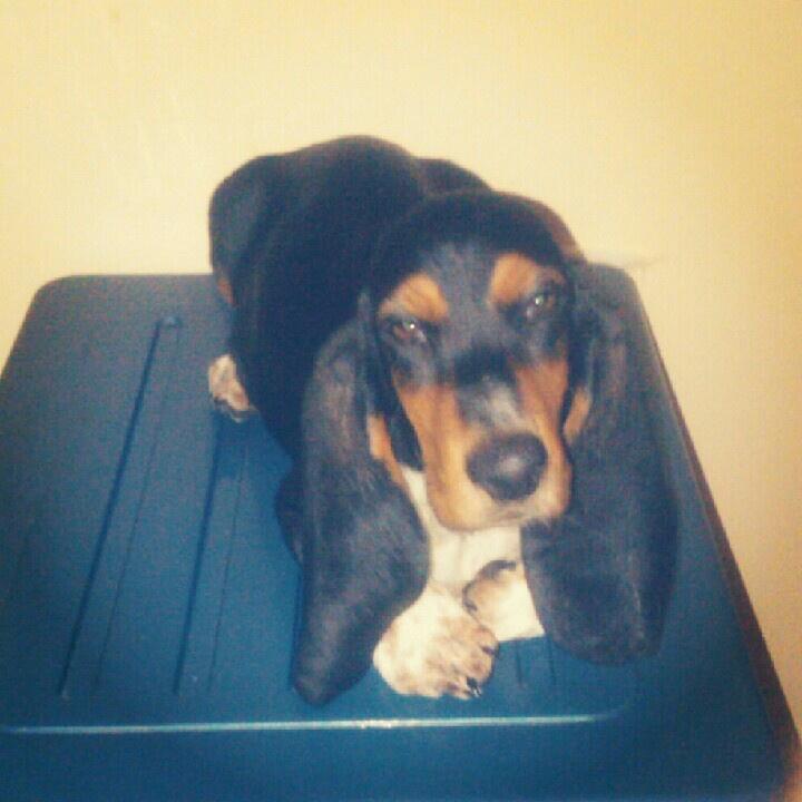 Kapan bisa punya anjing basset hound lagi :(