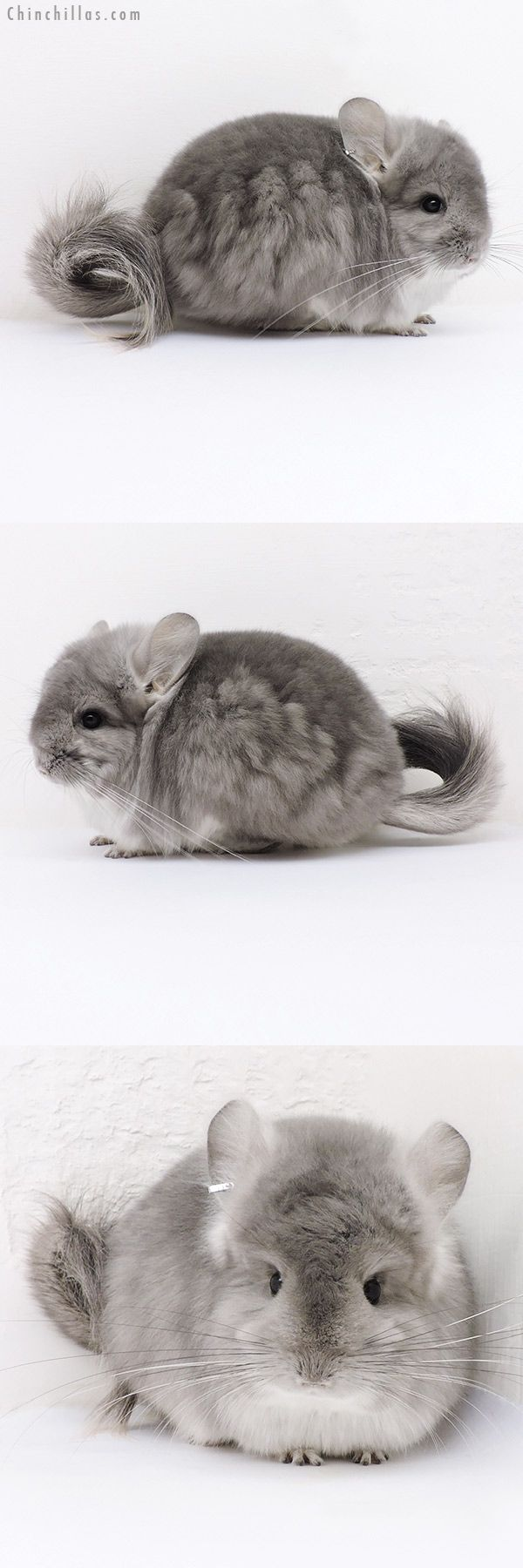 Exceptional Violet CCCU Royal Persian Angora Male Chinchilla