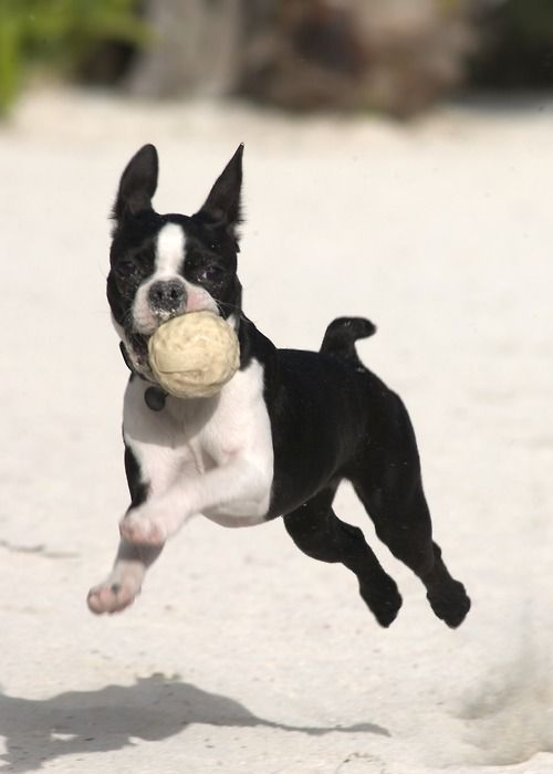 """Boston Terrier Cannot Take a Bad Photo  Wendell, a Boston Terrier from Belize, literally is incapable of taking a bad picture. """"We've tried to catch him when he's sleeping, when he's eating, when he's exercising — it doesn't matter, he always looks good,"""" says friend and personal photographer Gerald Laroche.  According to friends, Wendell just has that smoldering model look down, and he has a sixth sense about when a lens is turned on him. """""""