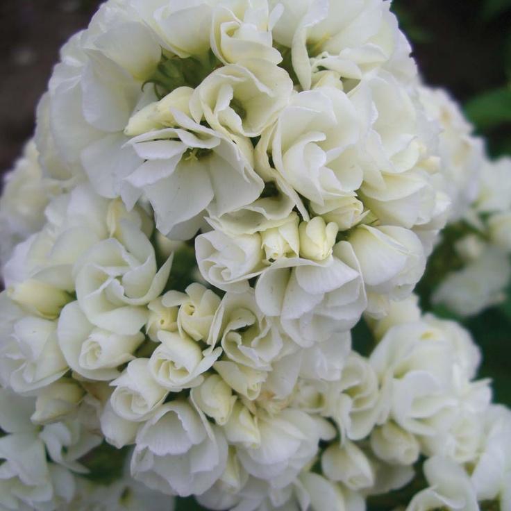 Bouquet Phlox Greek For Flame Meaning Sweet Dreams Harmony Blooming Flowerscut Flowerswhite