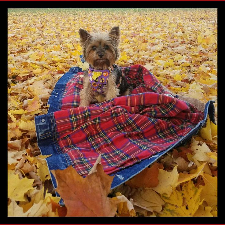 Willow enjoying the fall weather in Pennsylvania.     Found at: http://itsayorkielife.com/andreas-willow-2/  #Yorkies,#YorkshireTerriers,#YorkshireTerrierLove,#ItsaYorkieLife
