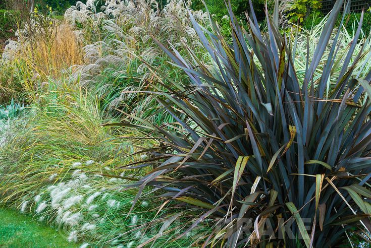 Dragon Garden with beds full of grasses including tall miscanthus, Calamagrostis 'Karl Foerster' and Phormium tenax atropurpurea edged with Pennisetum villosum. Knoll Gardens, nr Wimborne, Dorset, UK