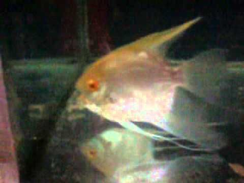 Must See ANgel Fish Red Eye In My Farm