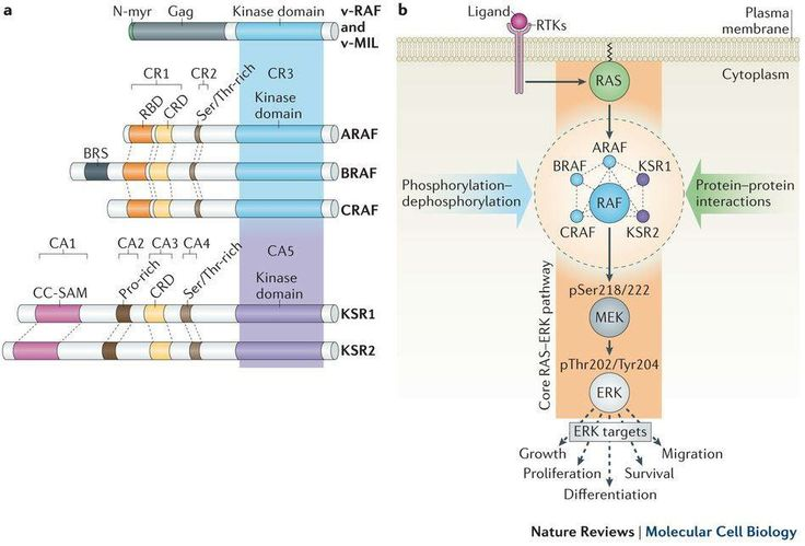 Regulation of RAF protein kinases in ERK signalling : RAF family kinases were among the first oncoproteins to be described more than 30 years ago. They primarily act as signalling relays downstream of RAS, and their close ties to cancer have fuelled a large number of studies. However, we still lack a systems-level understanding of their regulation and mode of action. The recent discovery that the catalytic activity of RAF depends on an allosteric mechanism driven by kinase domain…