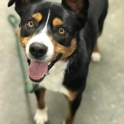 Pictures of Murph a Border Collie for adoption in The Dalles, OR who needs a loving home.