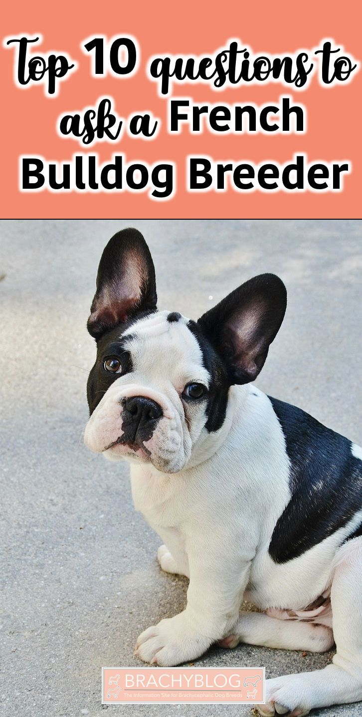 10 Questions To Ask A French Bulldog Breeder French Dog Names