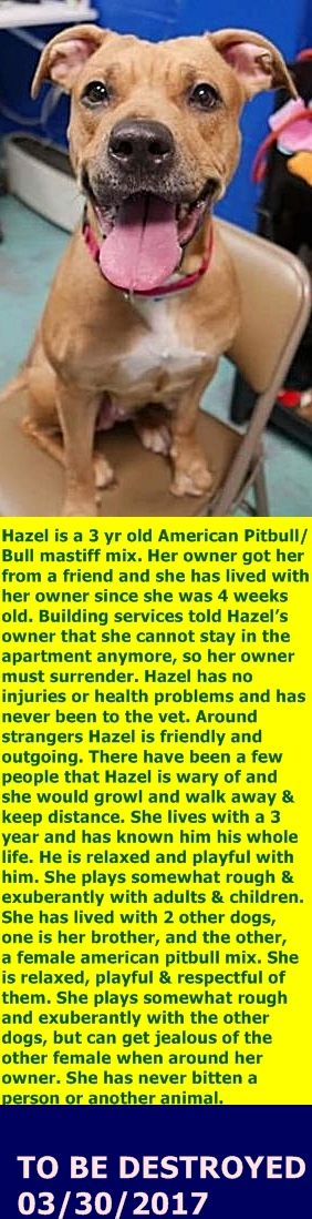 SAFE 3-30-2017 by Second Chance Rescue --- Brooklyn Center  My name is HAZEL. My Animal ID # is A1105187. I am a spayed female tan bullmastiff and bull terrier mix. The shelter thinks I am about 2 YEARS  I came in the shelter as a OWNER SUR on 03/02/2017 from NY 11224, owner surrender reason stated was NYCHA BAN.  http://nycdogs.urgentpodr.org/hazel-a1105187/