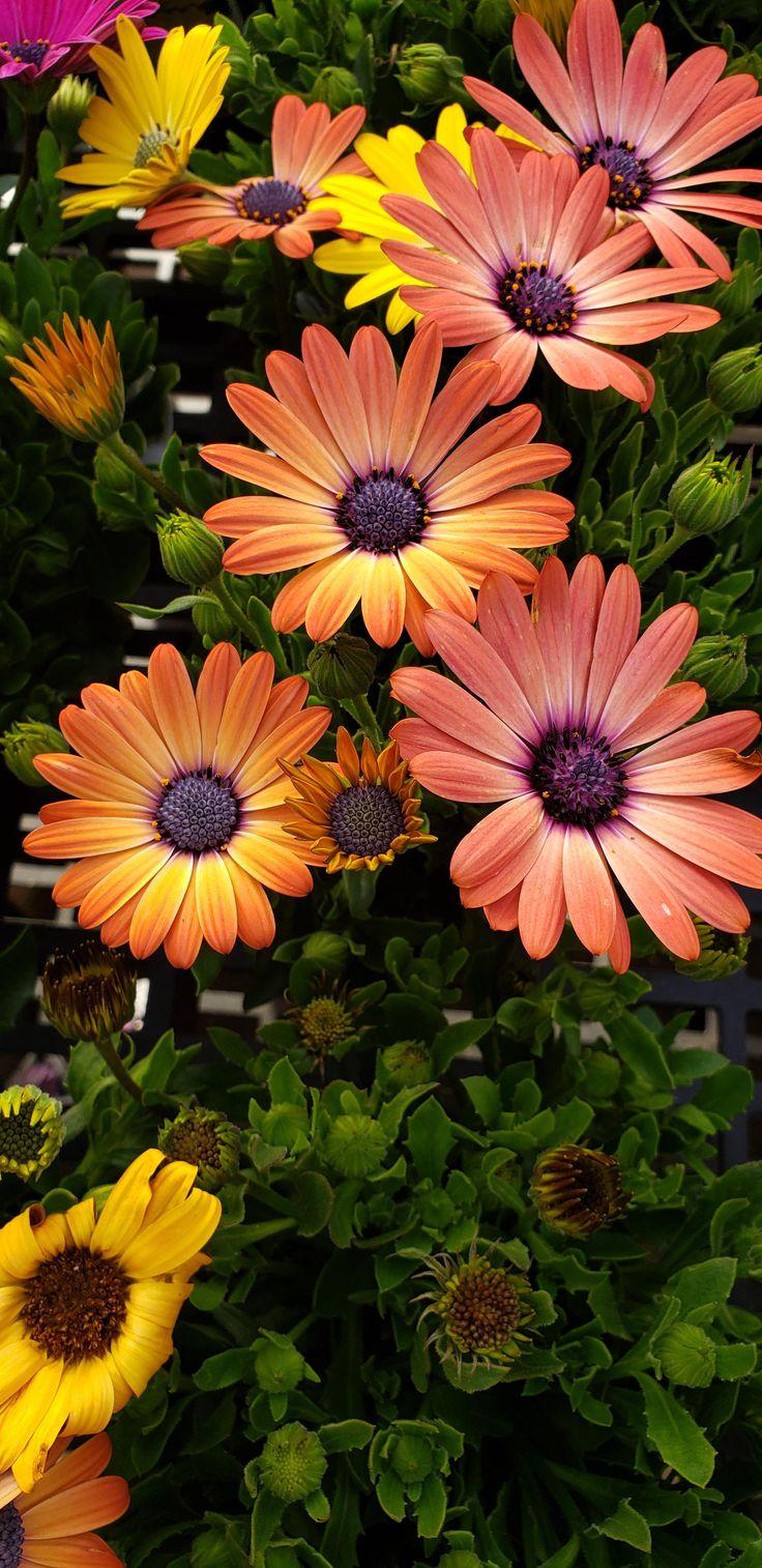 African daisies again gardening garden DIY home