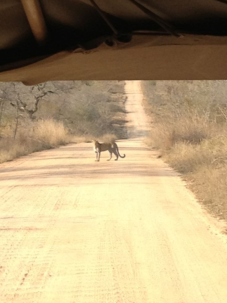 Kruger Extension 2013 - The leopard returned to the road and seemed to watch us (24/8/13).