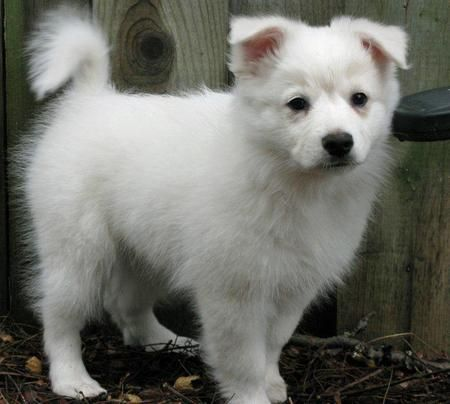 best 25 american eskimo puppy ideas on pinterest