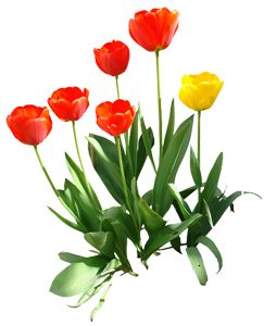 Tulip Flower PNG with leaf