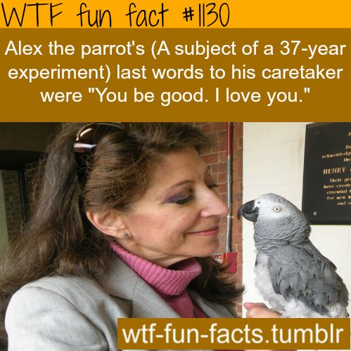 (SOURCE) - ALEX THE PARROT LAST WORDS. MORE OF WTF-FUN-FACTS are coming HERE animales facts