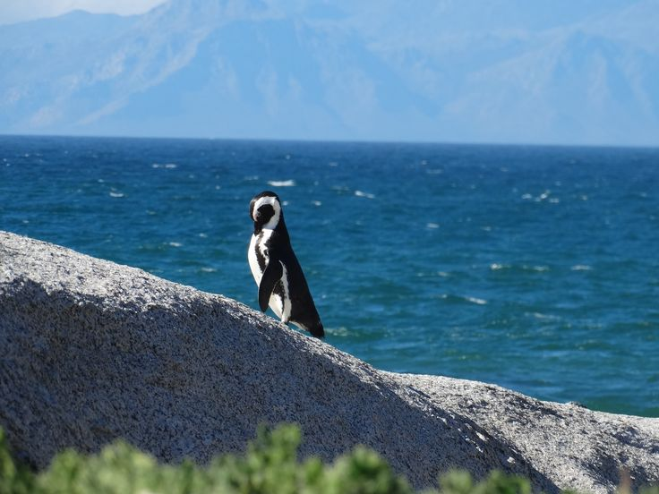 Good morning, beautiful #penguins #capetown #bouldersbeach