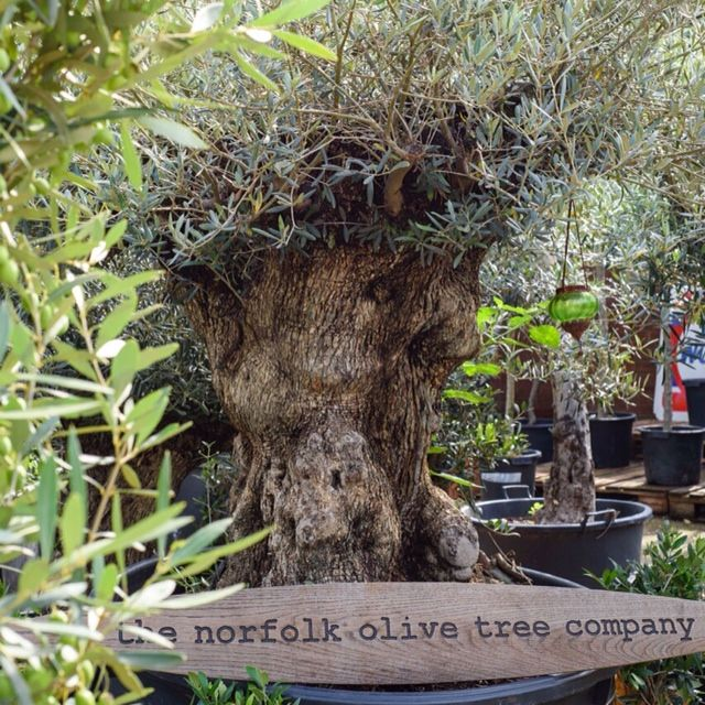 121 Best Olive Trees For Sale Free Delivery In Mainland U K Images On Pinterest