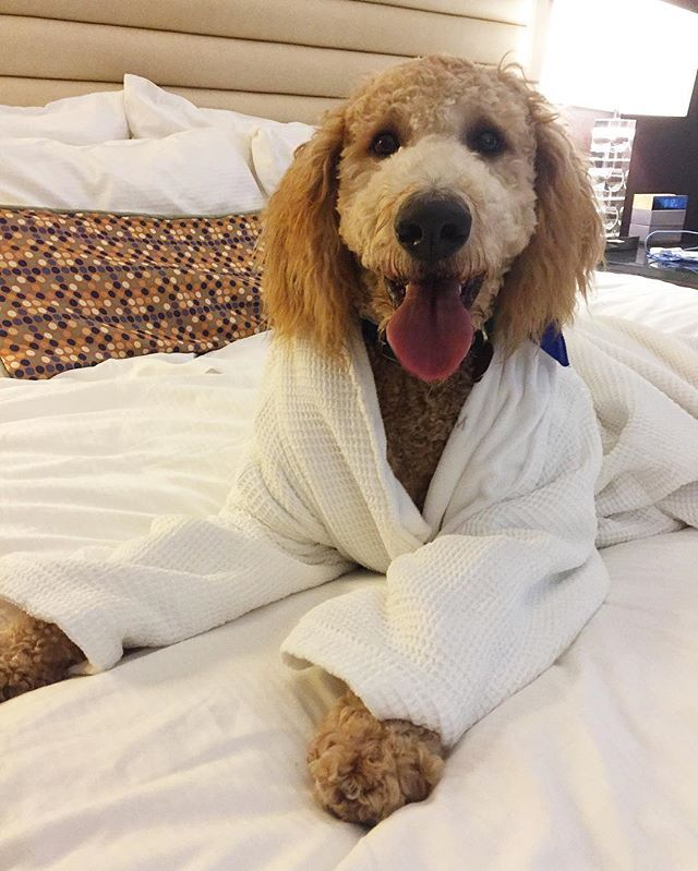 Does Quincy look comfy or what? He loved lounging around in our pet-friendly rooms in St. Louis, MO!  Life on The Moon is good when you're a VIPooch! Thanks for sharing dooditsquincy!
