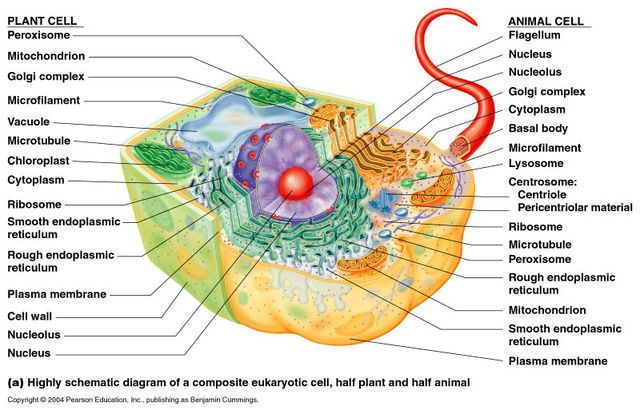Hybrid Animal Plant Cell Diagram Information Of Wiring Diagram