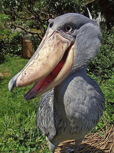 The shoebill stork, which seems more bill than stork, stalks lungfish in an African lake.