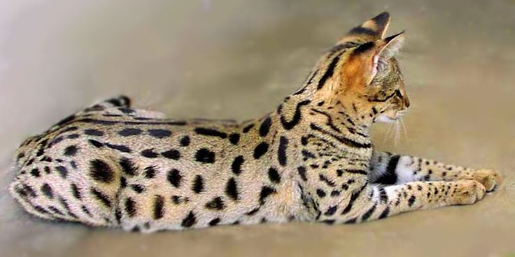 Savannah cats....the closer they are to the wild breed (bloodline) the more expensive they are