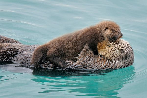Sea-otter-mom-holding-baby-photo-or-image-D3B3089.jpg (600×398)#MothersDayNecklaceGiveaway #TurtleLoveCo