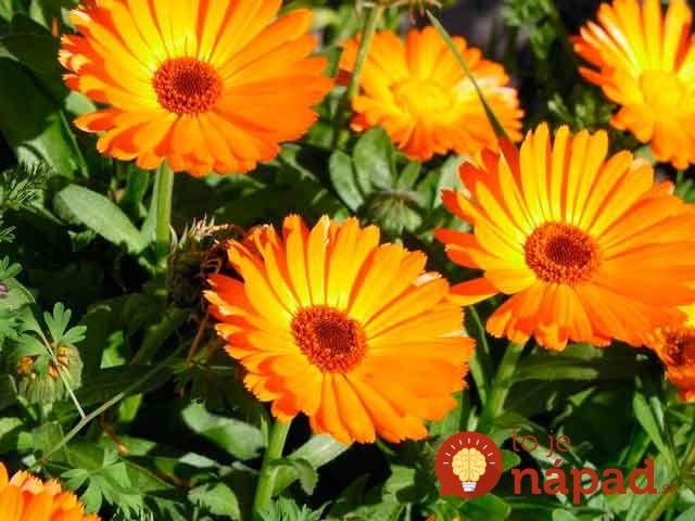 Pre vaše zdravie a záhradu ej tento kvietok hotový poklad.