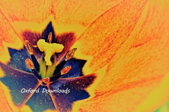 Orange Tulip Printable Photograph Floral Print by OxfordDownloads