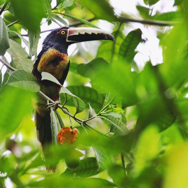 El Tucan | #cahuita #costarica #puravida #tucan #wild